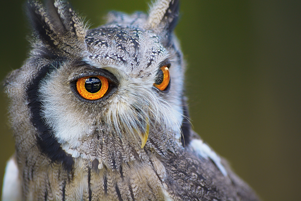 Image of an owl